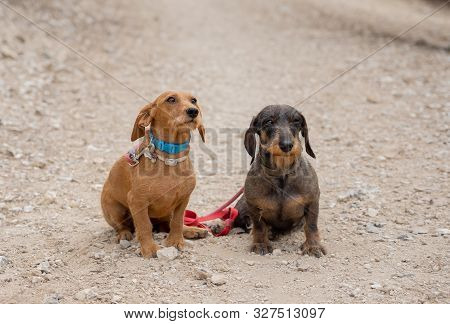 Portrait Of Two Old Cute Dachshund Dog Dogs In The Park