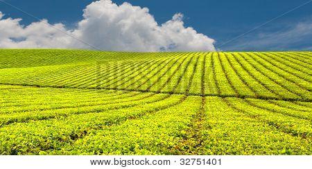 Innisfail tea plantation