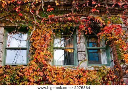 Boston Ivy And Old Windows