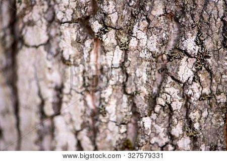 Bark of a Aiton pine in northern Ontario (Canada poster