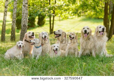The Kingdom Of Dogs Outdoors In The Forest. Long Raw Of Beautiful Golden Retrievers With Fluffy And