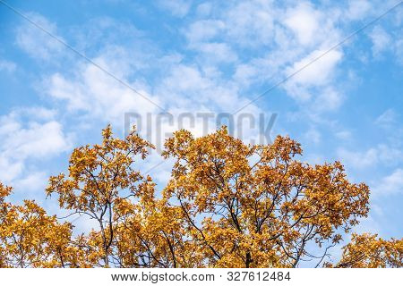 Oak Branches With Yellow Leaves In Autumn Against A Blue Sky. Bright Yellow And Orange Autumn Leaves