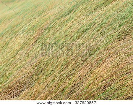 Reeds In The Wind On A Dam In Zeeland, The Netherlands