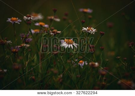 Beautiful White Camomiles On A Wild Summer Meadow On A Warm Summer Day