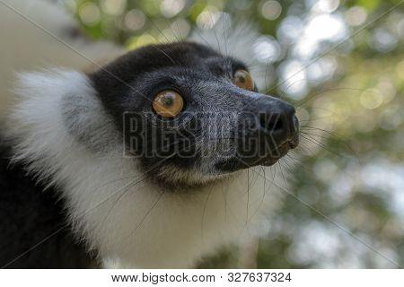 Black-and-white Ruffed Lemur (varecia Variegata).endemic Madagascar.close Up