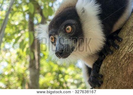 Black-and-white Ruffed Lemur (varecia Variegata).endemic Madagascar. Close Up