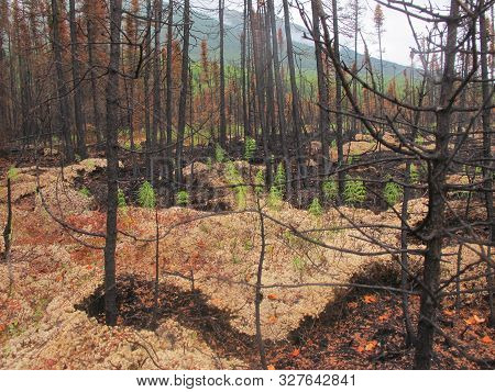 Recovering Forrest After Devastation By Wildfire Event