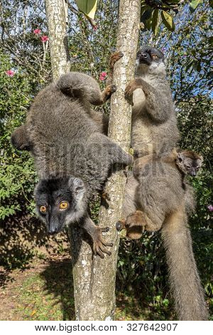 Red Fronted Brown Lemur ( Eulemur Rufifrons ). Two Mother And Baby. Madagascar, Close Up