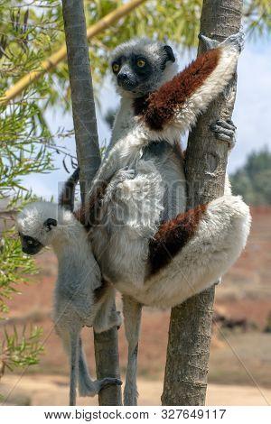 Crowned Sifaka Lemur ( Propithecus Coronatus ), Mother And Baby . Wild Nature Madagascar