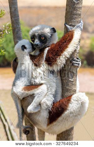 Crowned Sifaka Lemur ( Propithecus Coronatus ), Mother And Baby , Wild Nature Madagascar