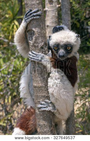 Crowned Sifaka Lemur ( Propithecus Coronatus ), Mother And Baby