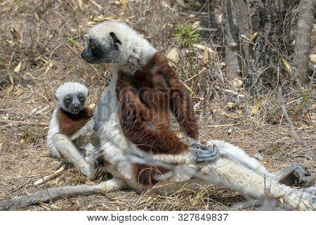 Crowned Sifaka Lemur ( Propithecus Coronatus ), Mother And Baby ,