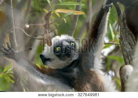 Crowned Sifaka Lemur ( Propithecus Coronatus ),young Baby.portrait. Madagascar - Wild Nature.