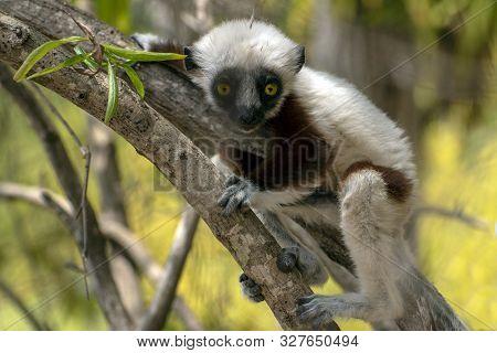 Crowned Sifaka Lemur ( Propithecus Coronatus ),portrait.madagascar - Young Baby - Wild Nature.