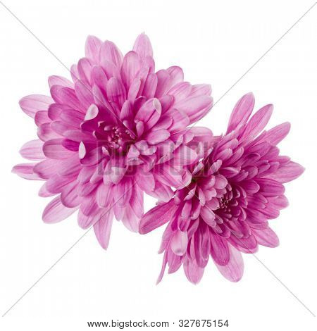 two chrysanthemum flower heads isolated over white background closeup. Garden flower, no shadows, top view, flat lay..