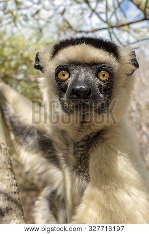 Sifaka Lemur, Silky Sifaka (propithecus Candidus), Portrait. Madagascar - Wild Nature.