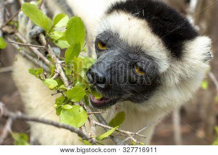 Sifaka Lemur, Silky Sifaka (propithecus Candidus), Madagascar