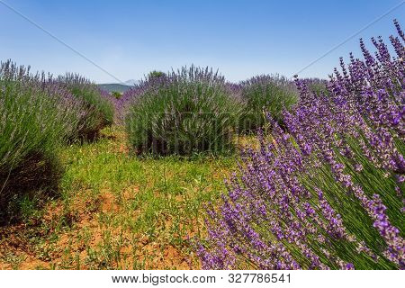 Close Up Of Lavender Bushes In A Field On A Sunny Day.
