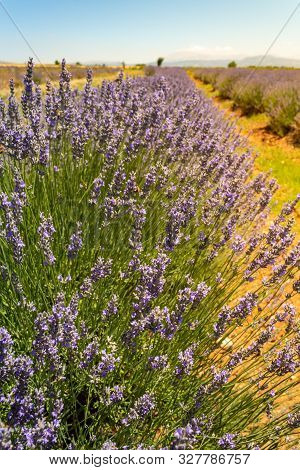 Close Up Of Lavender Flowers In A Field On A Sunny Day.