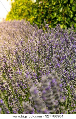 Close Up Of Lavender Flowers In A Field With Sunshine.