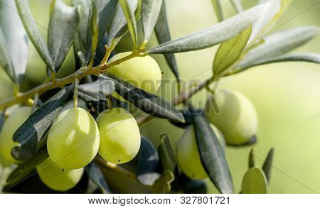 Green Olives Growing On The Olive Tree. Raw Healthy Olive Fruits On A Tree Branch. Greece Olives.