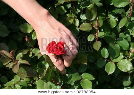 Engagement Ring and Red Rose Horizontal