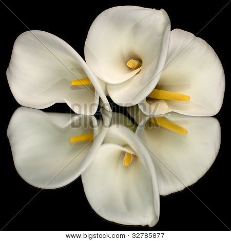 Three White Calla Lillies