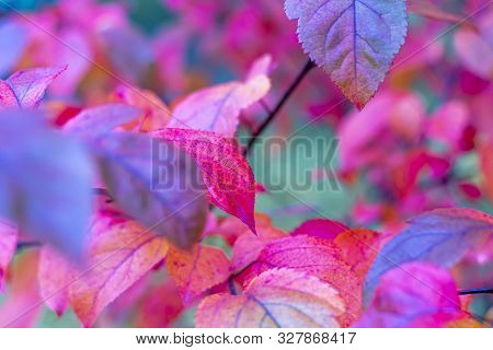 Colorful Autumnal Background With Red Leaves Close Up. Multicolored Foliage In The Park For The Cove