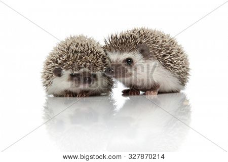 couple of two african hedgehogs standing side by side, looking to side and exploring, isolated on white background