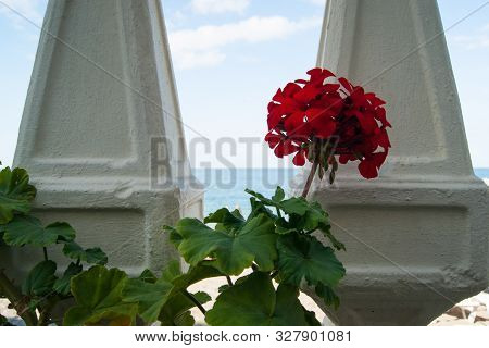 Big Red Geranium Went For A Walk On The Promenade And Looks Through Balusters On The Blue Sea.