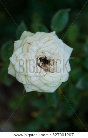 A Small Decorative White Tired Rose With Darkened Petals On A Blurry Background Of Green Grass And F