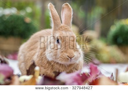Rufus Rabbit Surrounded By Colorful Fall Leaves, Pumpkins And Mums, Fall Scene