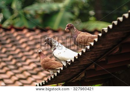 Homing Pigeon, Racing Pigeon Or Domestic Messenger Pigeon Sitting On Old Village Roof.