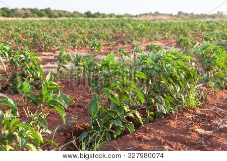 Field with green peppers in Botswana Africa poster