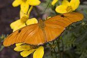 Bright Orange Julia Moth Dryas Julia on Yellow Flowers poster