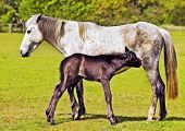 Mare standing patiently while young foal suckles poster
