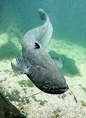 Underwater photo big Catfish (Silurus Glanis). Trophy fish in Hracholusky Lake - Czech Republic, Europe. poster