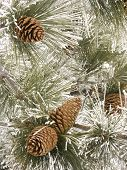 pine cones and needles covered in frost poster