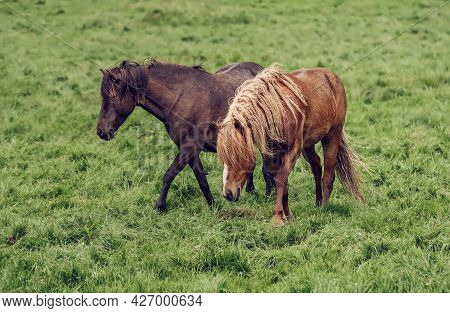 Couple Of Icelandic Chestnut Horses Grazing On The Green Meadow In Iceland