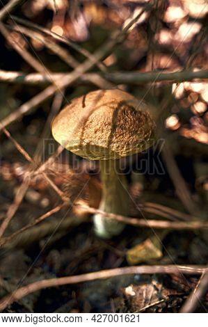 Birch Bolete Mushroom Or Leccinum Scabrum Growing In A Sunny Forest