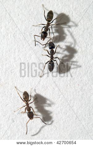 Close up of three worker ants on white