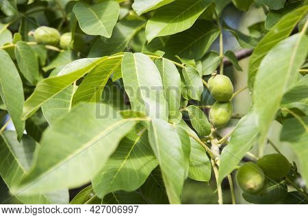 Little Greek Walnuts Hang On The Tree And Ripen. Very Useful And Nutritious Greek Nuts On The Tree