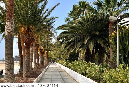 Alley With Huge Palm Trees Next To The Sandy Beach Of Morro Jable, Fuerteventura, Canary Islands, Sp