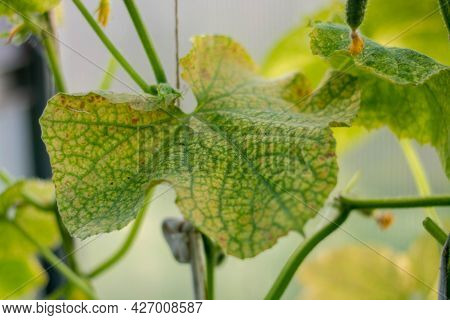 Cucumber Leaves Are Affected By Powdery Mildew. Plant Leaf Disease. Cucumber Disease. False Powdery