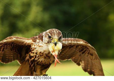 The Saker Falcon (falco Cherrug) Is Feeding. The Saker Falcon With A Death Chicken In His Beak.