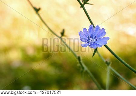 Blue Cichorium Flower In The Summer Field