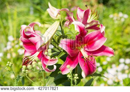 Pink Lily Flowers (lat. Lílium) On A Background Of Green Leaves On A Clear Sunny Summer Day. Nature