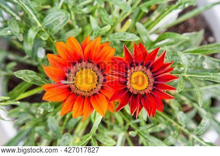 Gazania Is Harsh (latin Gazania Rigens) Red In Color On A Clear Sunny Summer Day. Nature Flora Flowe
