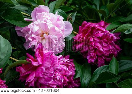 A Bud Of Pink Blossoming Peony Flower. Isolated Flower On The Black Background With Clipping Path Wi