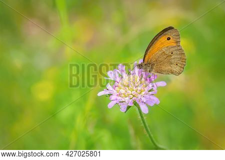 Orange And Brown Butterfly, A Male Of Meadow Brown, Maniola Jurtina, Sitting On Purple Field Scabiou
